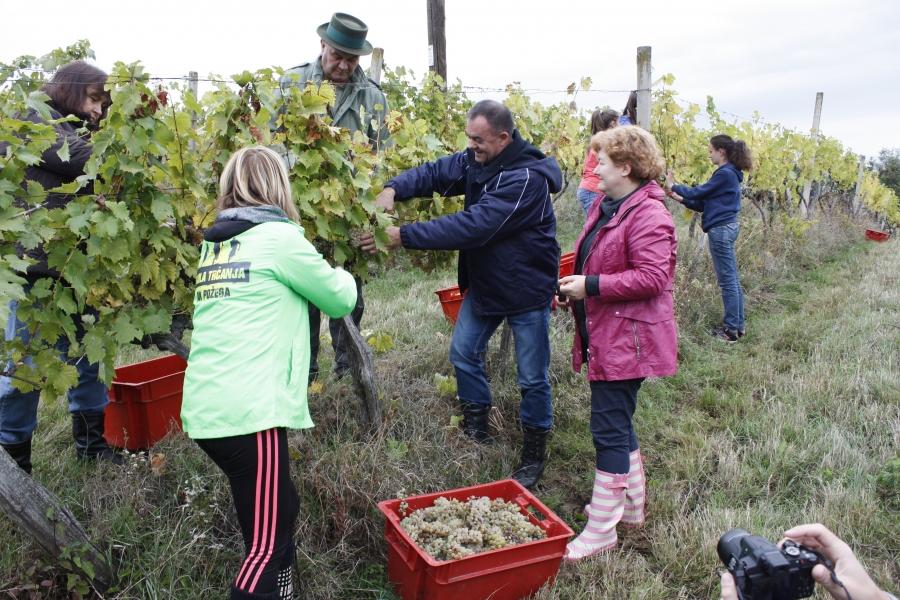 Župan u berbi grožđa sa učenicima Poljoprivredno - prehrambene škole