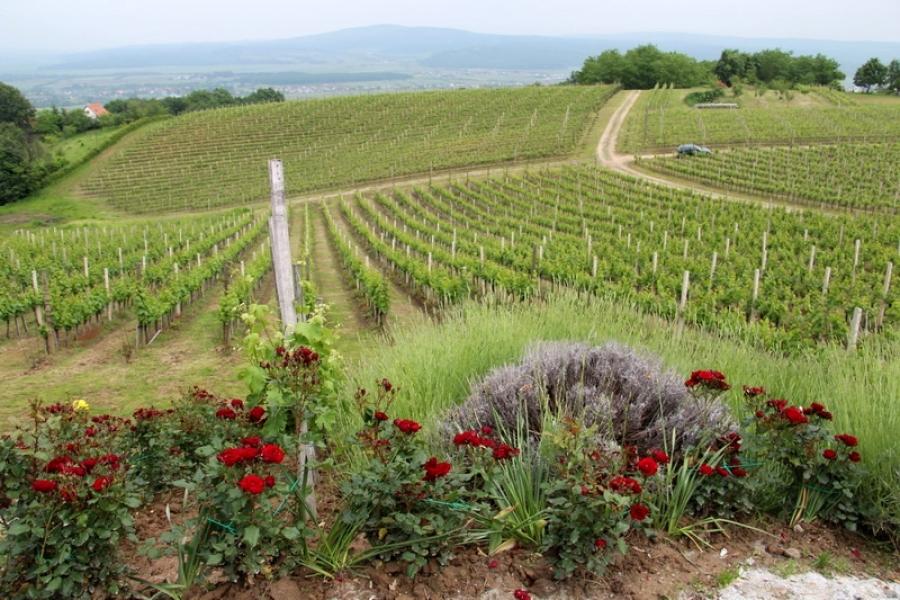 Proslavljena po 10. put cvatnja ruža i graševine u vinogradu obitelji Markota